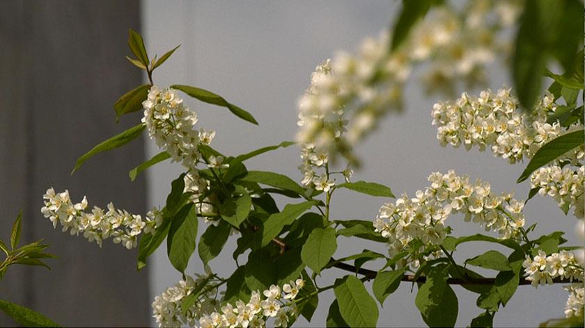 черемуха цветет в санкт петербурге фото пользе способах